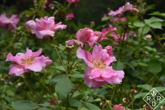 Rosa 'Carefree Beauty' is the Engergizer Bunny of roses here. Never has had Rose Rosette Disease and keeps on pumping out the blooms year after year.