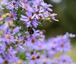 Symphyotrichum laeve 'Bluebird,' a beautiful aster that everyone should grow.