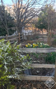 Daffodils and 'Ogon' spirea. If you want a beautiful shrub for three seasons of the year, plant 'Ogon.'