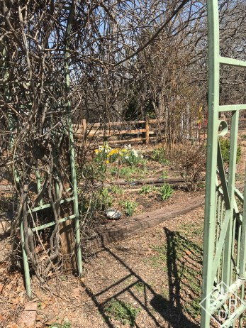 Daffodils through the garden gate.