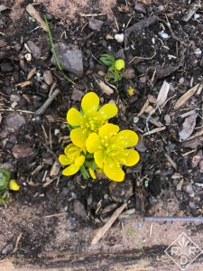 Tiny Eranthus hyemalis, winter aconite is one of the first bulbs to bloom in early spring/late winter.