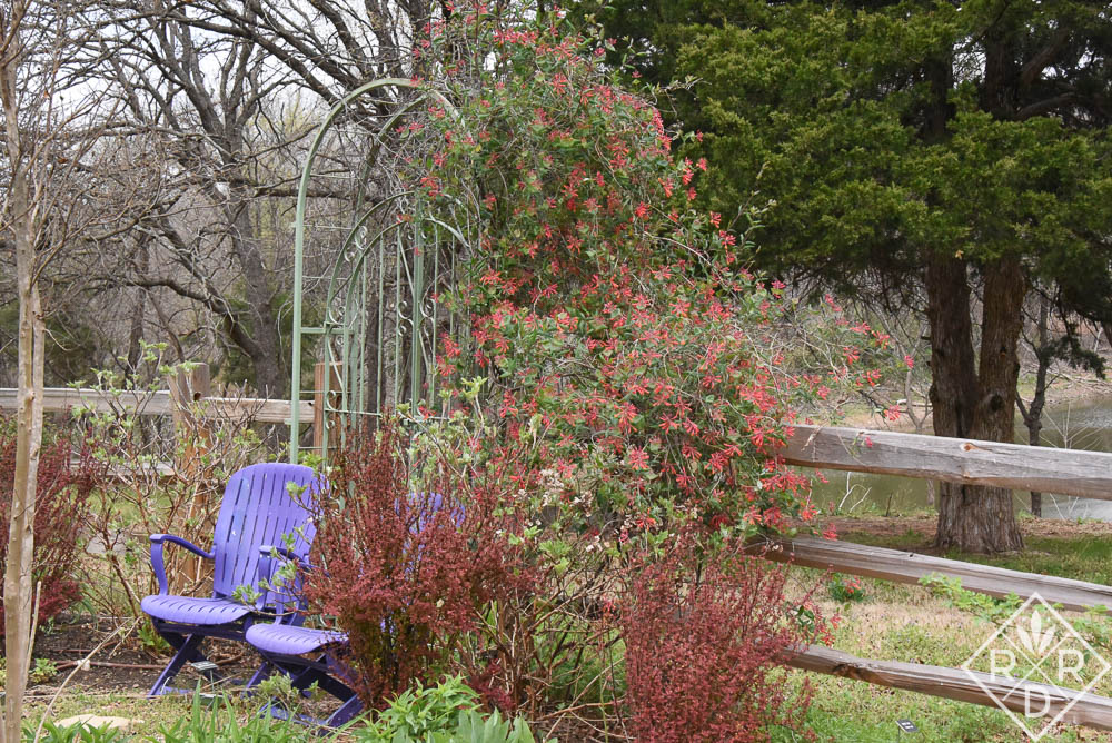 <em>Lonicera sempervirens </em>'Major Wheeler' American honeysuckle and <em>Berberis thunbergii</em>'Orange Rocket' barberry already look great at the end of the back garden. 'Major Wheeler' has been impervious to the cold.