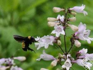 "Bumblebee up close on Penstemon 'Dark Towers."""