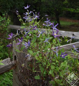 Clematis integrifolia 'Queen of Holland has small flowers, but blooms forever.