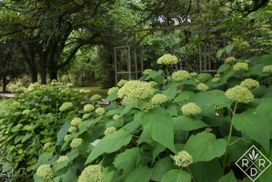 Hydrangea arborescens 'Annabelle' with its immature green blooms.Soon, they will be fluffy and white and full of insects.