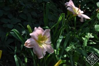 Hemerocallis 'Something Lovely' in partial shade