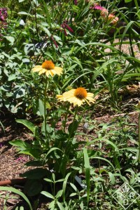 Sombrero Granada Gold echinacea trial plant. I quite like this color.