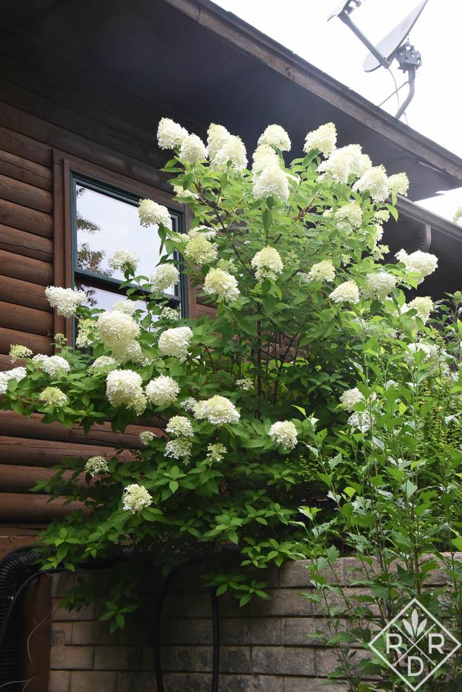 Hydrangea panciulata Limelight is a proven performer.