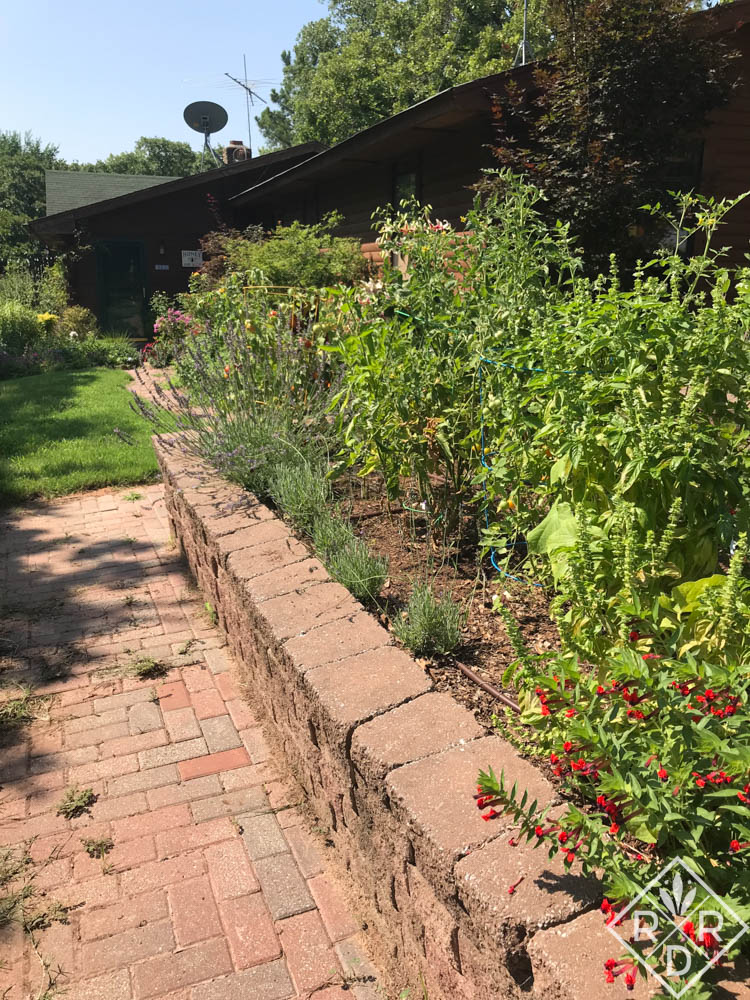 This bed in the potager was full of weedy grass too. I freed the 'Phenomenal' lavender from the grasses' clutches, and it was soon full of butterflies and bumblebees again.