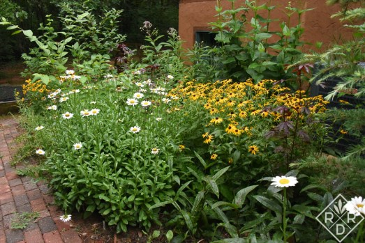 Shasta daisy 'Becky' and Rudbeckia fulgida var. sullivantii 'Goldsturm' in the tiered border on the back side of the house.