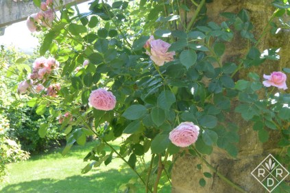 Another English rose at Low Hall.