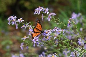 Male Monarch butterfly on 'Bluebird' aster.