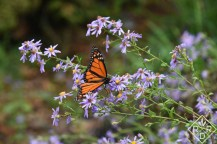 Male Monarch butterfly on 'Bluebird' aster.