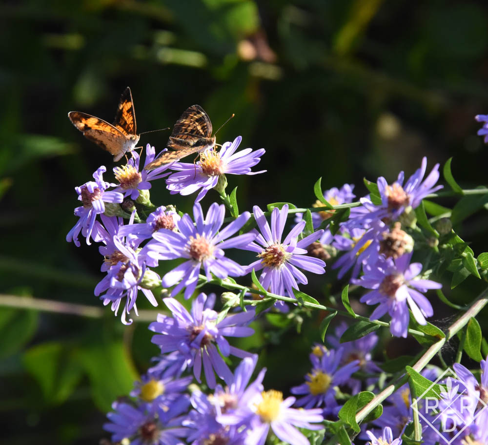 So many butterflies, large and small, on my plants yesterday. This is 'Bluebird' smooth aster.