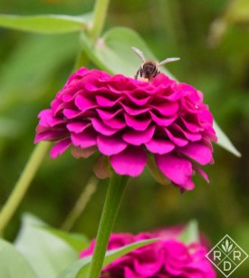 Benary's Giant Wine zinnia with a honey bee.