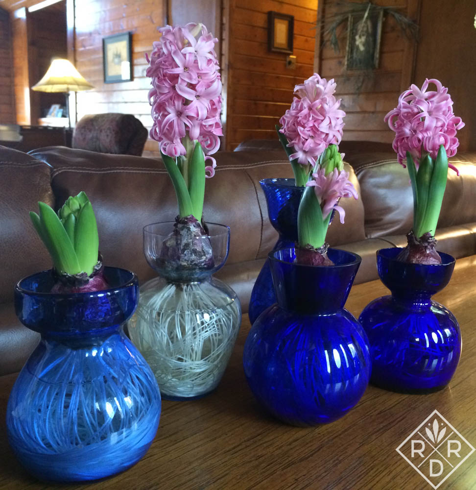 Forcing bulbs. Hyacinths pretty in pink