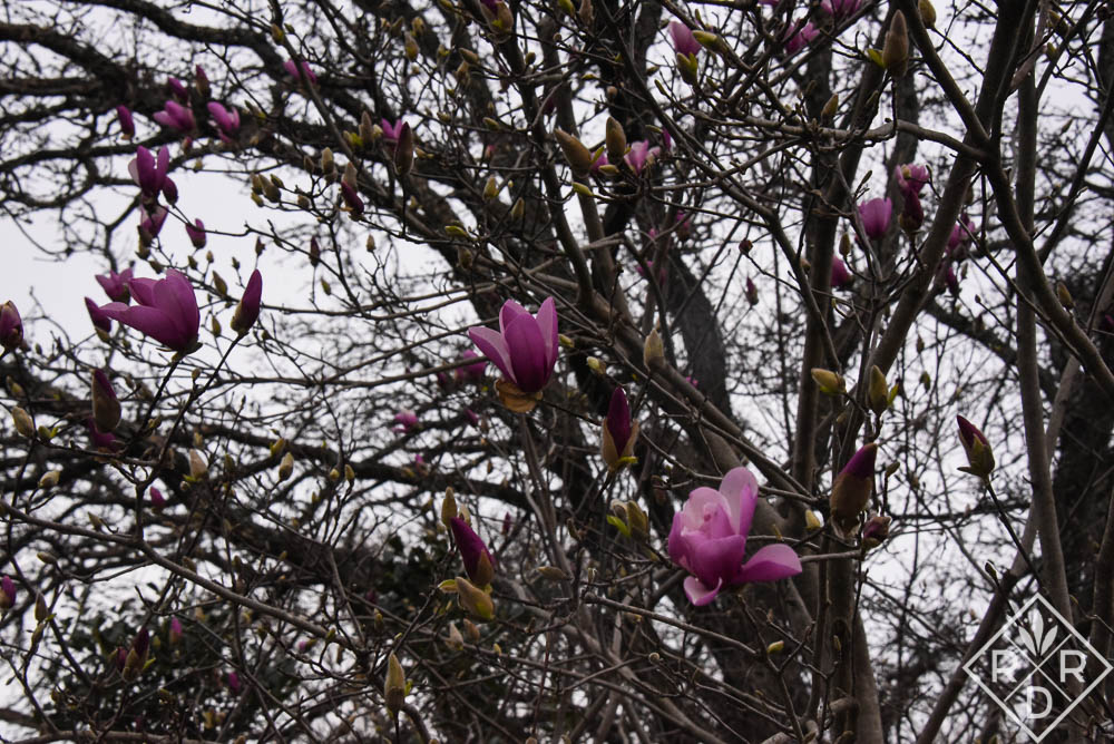 Sadly, 'Jane' magnolia will get hit by this weekend's freeze.