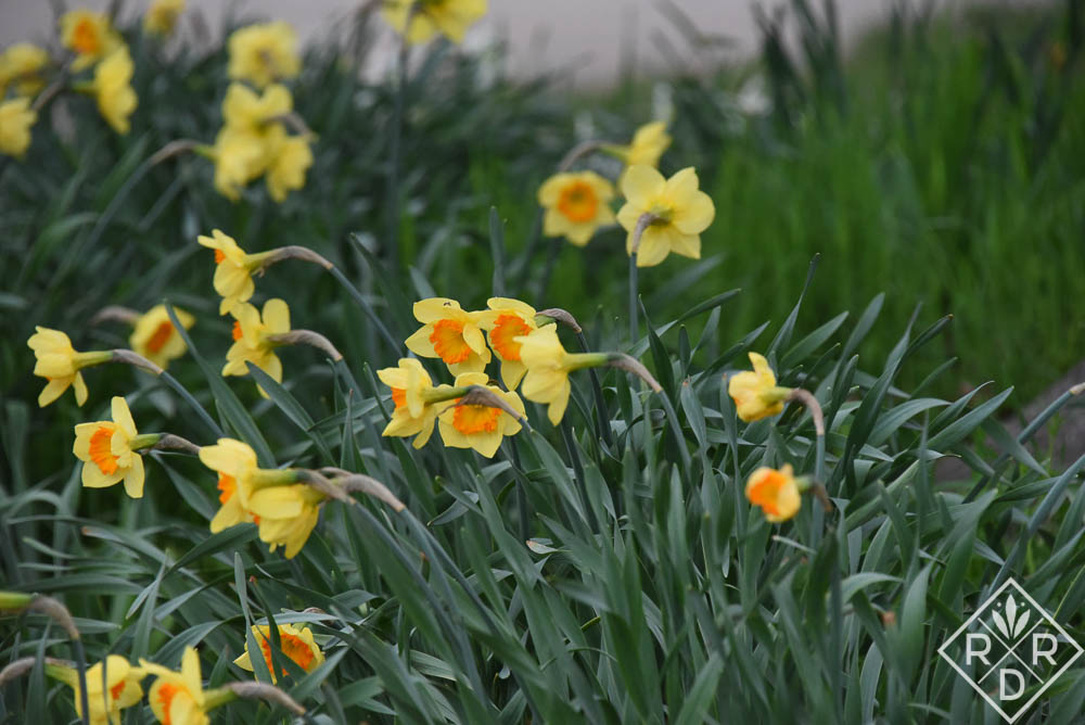 Pretty closeup of the orange-cupped daffodils.