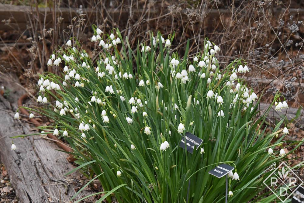 A large clump of Leucojum aestivum,, summer snowflake.