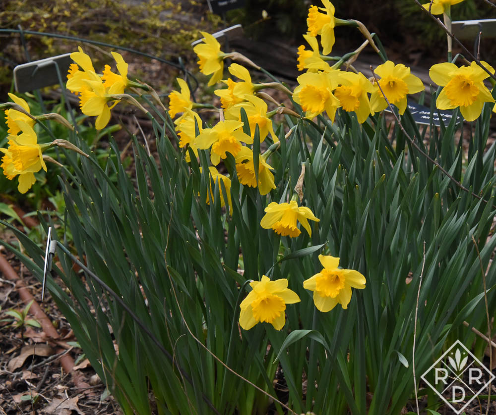 Yellow large-cup daffodils that I enjoy in the front border.