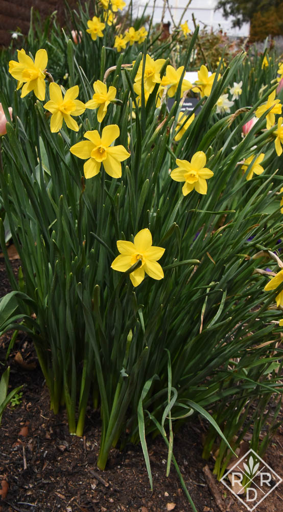 Small, delicate yellow daffodils growing next to the garage.