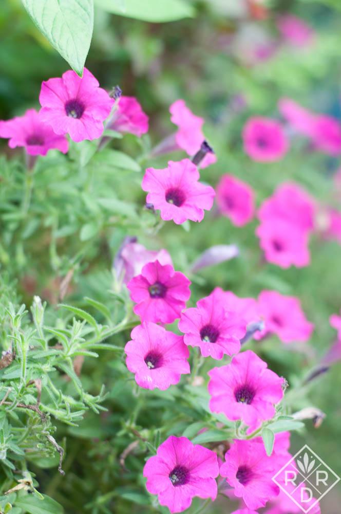 'Laura Bush' petunia