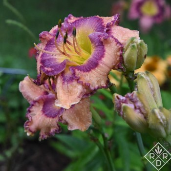 Hemerocallis 'Sherry Candy'