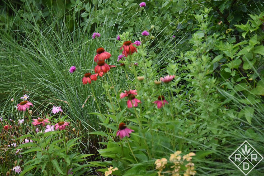 More 'Cheyenne Spirit' echinacea with pink muhly grass (not blooming.)