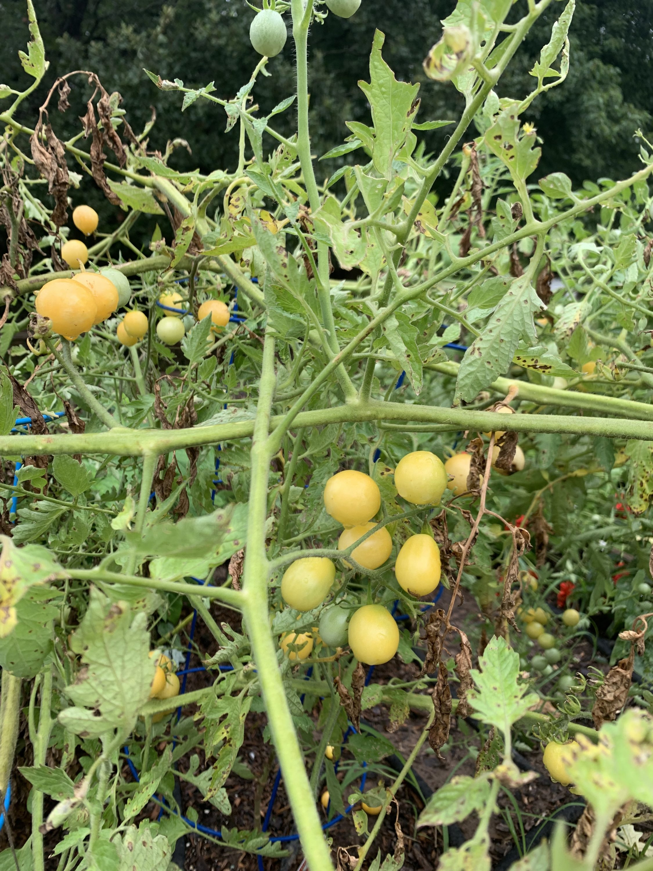 Firefly tomato