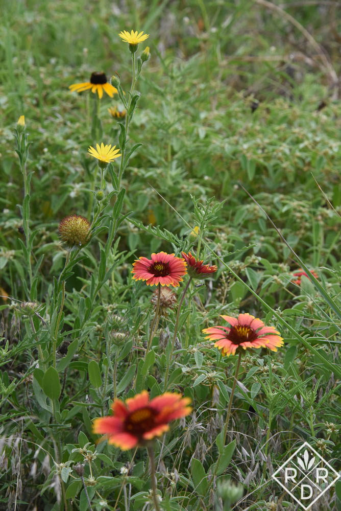 Gaillardia, blackeyed Susan and coreopsis all bloom together now.