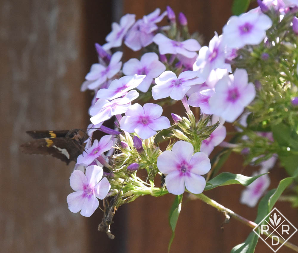 Silver Spotted Skipper on Phlox paniculata Bright Eyes (1 of 1)