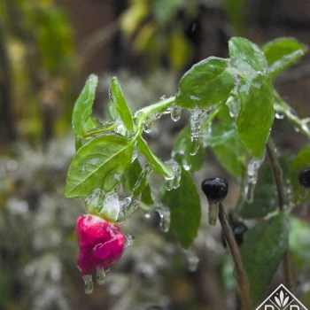 Carefree Beauty rosebud covered in ice.