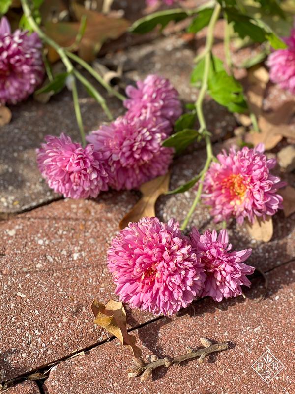 Chrysanthemum 'Fall Charm' on the sidewalk