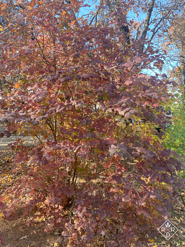 Viburnum opulus 'Sterile,' eastern snowball bush, has beautiful coppery hues.