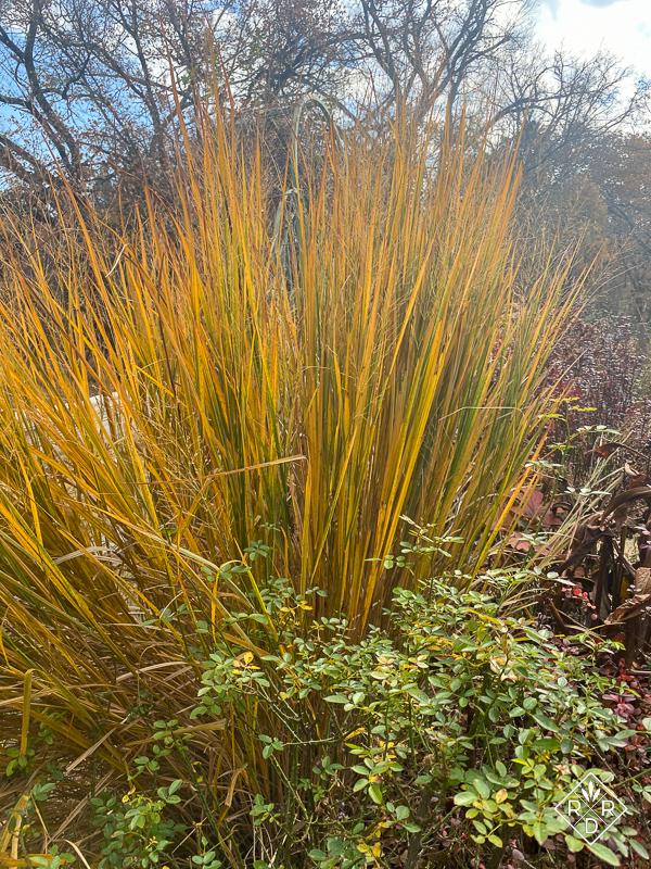 Panicum virgatum 'Northwind' is yellow in fall.