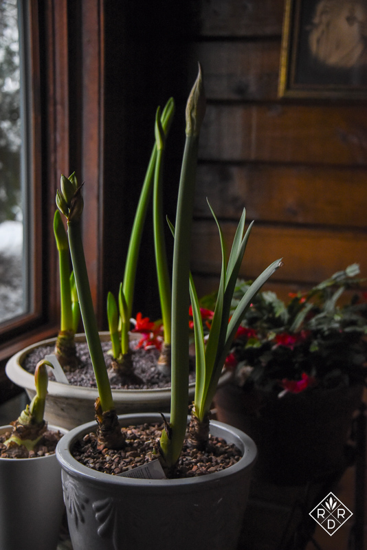 Amaryllis growing but not yet blooming. Because we were out of town, I didn't turn them a 1/4 turn each day. However, the stems will straighten themselves out soon.