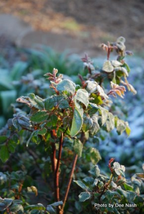 Roses not covered in sheets are now covered in frost