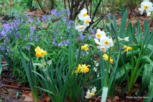 Daffodils and phlox just waiting for a vase