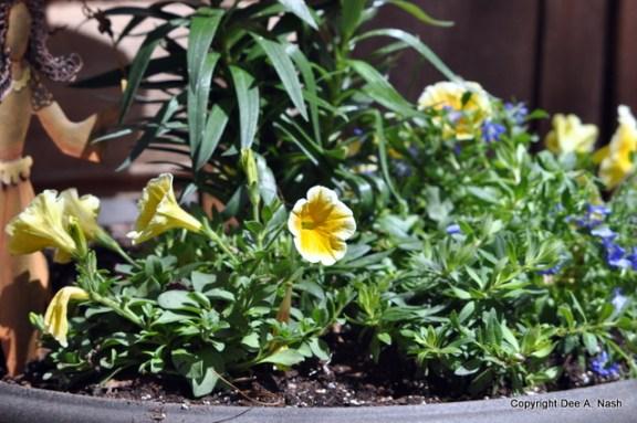 Yellow petunias and Lobelia