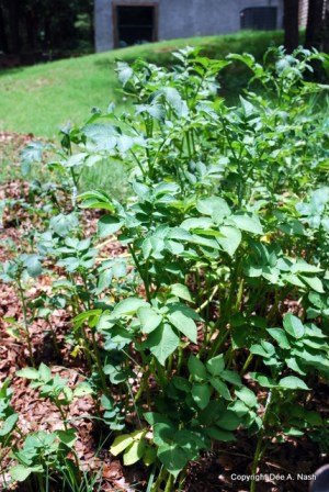 Potato plants in the compost pile