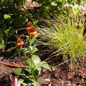 Can you see how Echinacea 'Tiki Torch' echoes the orange tips of Carex 'Prairie Fire'?