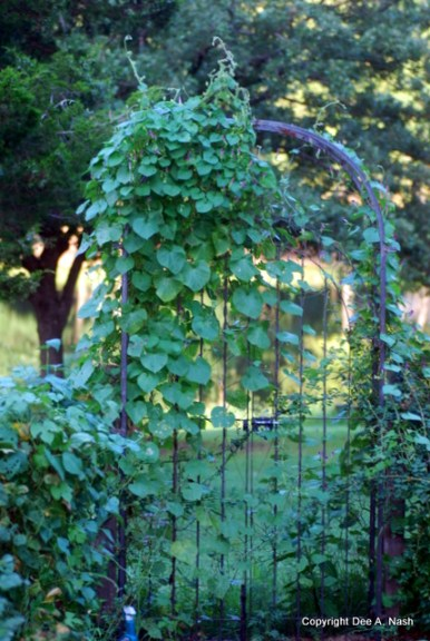 Arbor at the end of the garden is covered with morning glories