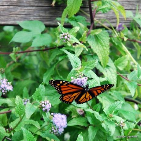 Monarch as seen from below