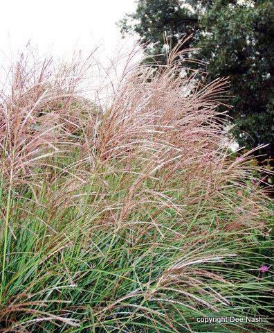 Maiden grass, Miscanthus sinensis, a fall performer from my garden