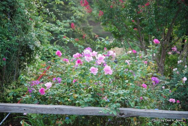 'Carefree Beauty' rose.