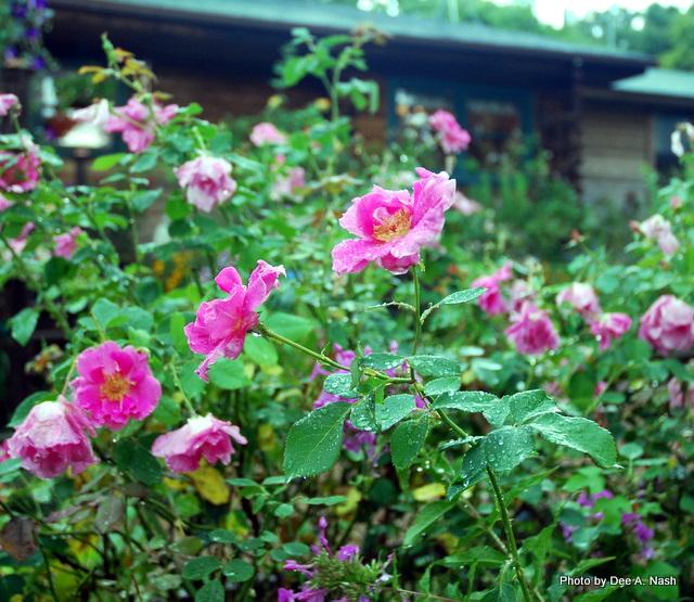 'Carefree Beauty' rose dappled with rain.