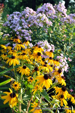 Rudbeckia fulgida 'Goldsturm' with Phlox paniculata 'Bright Eyes' behind.
