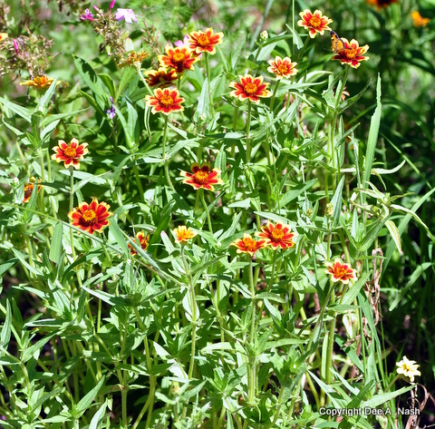 Persian Carpet zinnias. Ten easy flowers to grow in Oklahoma.