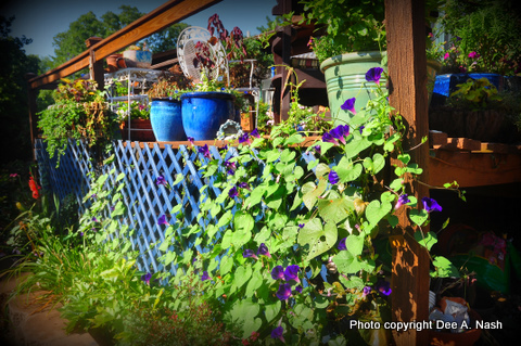 'Grandpa Otts' morning glories with blue pots in 2011.