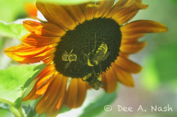 Bees gathering pollen and nourishment from one of the sunflowers I planted in the vegetable garden.